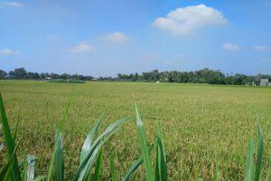 Các trường hợp không được mua bán, cho tặng quyền sử dụng đất trồng lúa