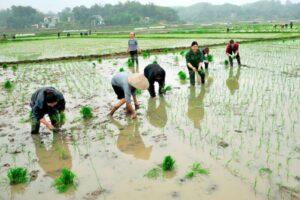 Cách xác định người trực tiếp sản xuất đất nông nghiệp – đất trồng lúa
